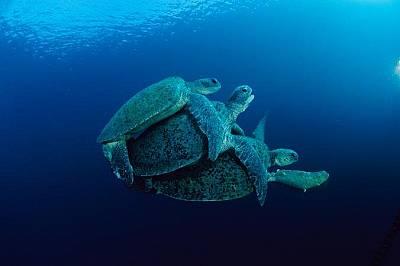 Зелени морски костенуркиТвоето е мое: зелените морски мъжки костенурки тормозят други мъжки, които се опитват да се чифтосват с женските, защото ги ис...