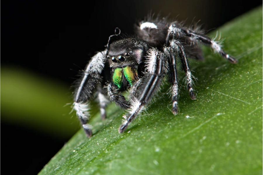 Кралски паяк скачач демонстрира своите челюсти.
