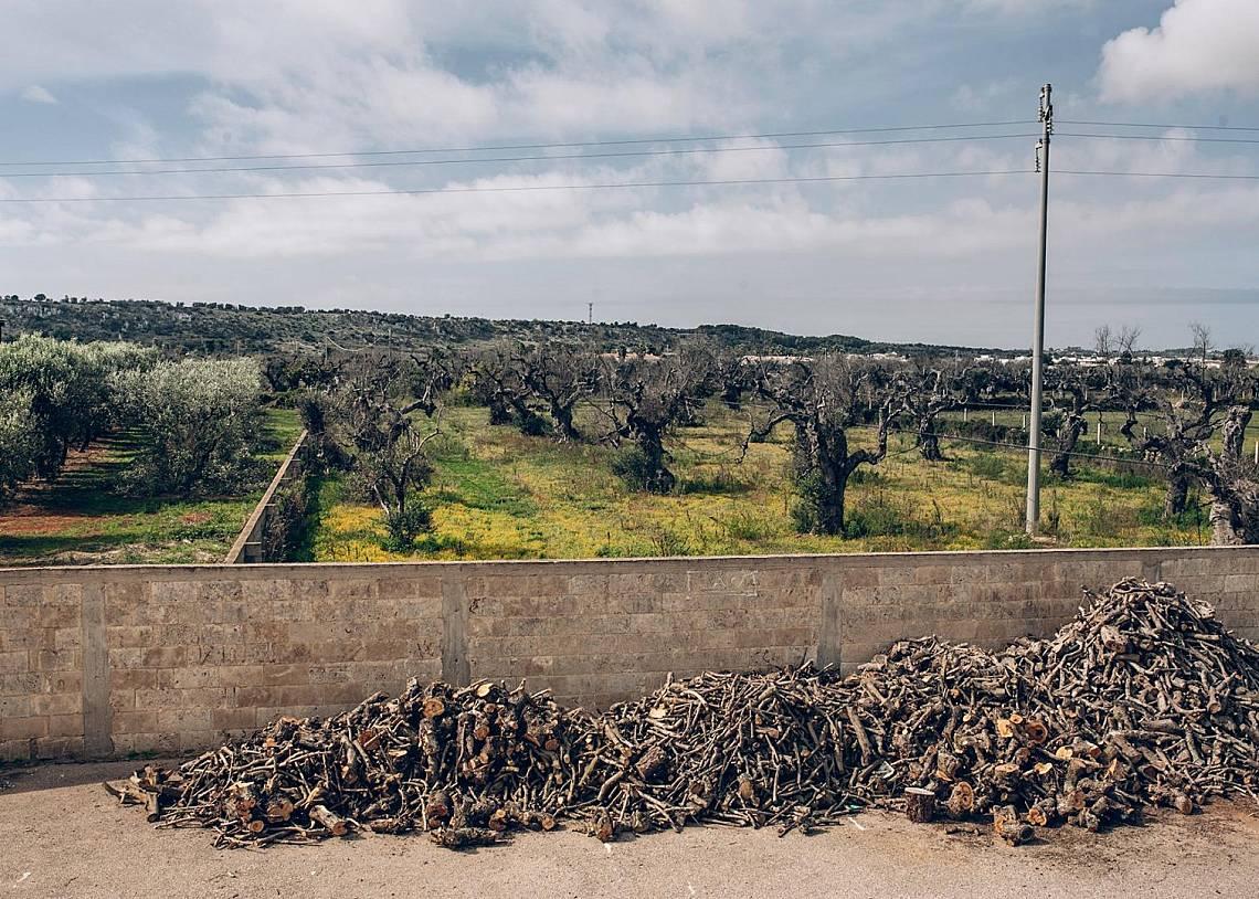Купища изсечена дървесина от инфектираните дървета съхнат край рафинерията за зехтин на Ренато Адамо. Снимка: Патриция Кюхфус