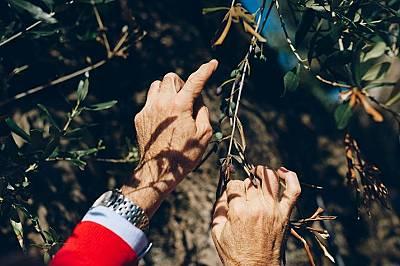 Листата на 1500 годишно дърво са инфектирани с XylellaОт пет години ботаникът Донато Боша изучава бактериятаXylella fastidiosa. Според учени...