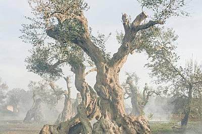 Това маслиновов дърво в Угенто е на над 300 години, но сега е инфектирано от Xylella.
