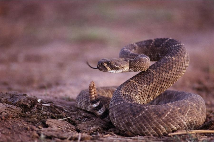 Западна гърмяща змия се подготвя за атака.